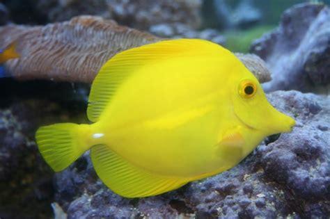 aquarium fish yellow tang fish wallpaper fun animals wiki videos pictures stories