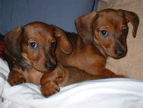 how much are dachshund puppies two light brown dachshund puppies image jpg