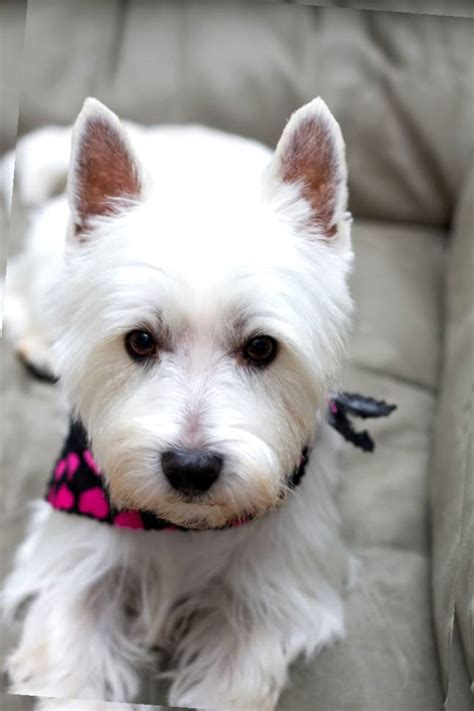 images of westie haircuts haircut for westie westies pinterest westies dog