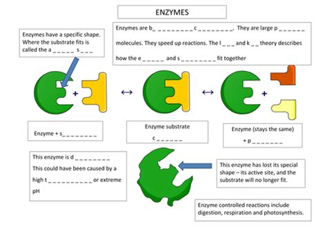 contains mostly with a color enzyme annotation worksheet by aaron chandler teaching