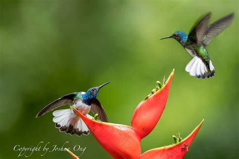 territorial behavior of bluegreen rufous hummingbird fm