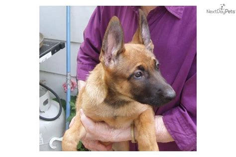 belgian malinois puppy price price reduced akc malinois pupsdog belgian malinois puppy 4c863426