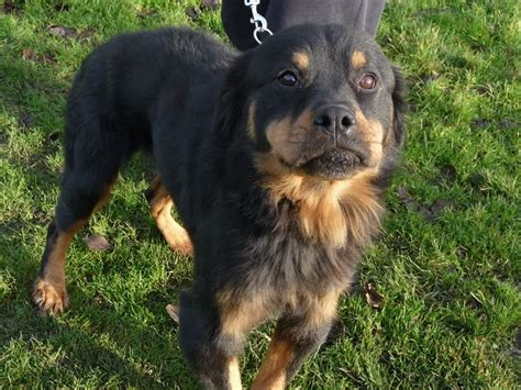 puppy rottweiler for adoption lovely rottweiler for adoption stowmarket suffolk pets4homes