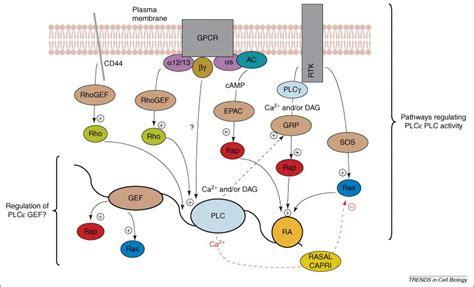 Phospholipase C epsilon: linking second messengers and ... G Protein Coupled Receptors Diagram