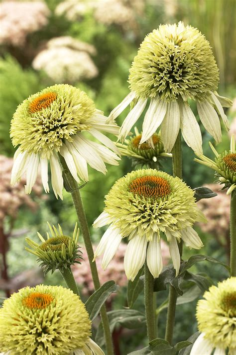 coneflower coconut lime garden housecalls