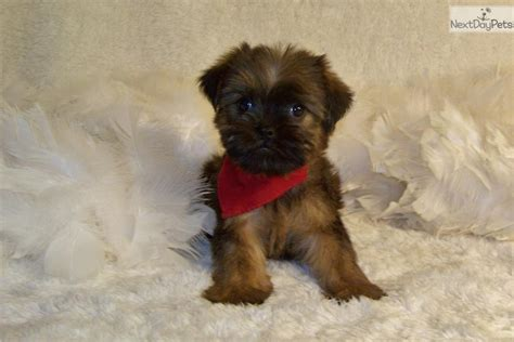 brussels griffon puppies for sale brussel griffon puppy breeds picture