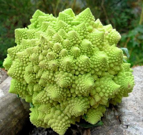 fractal fun the christmas tree vegetable romanesco with