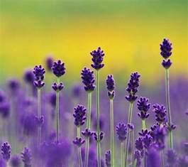 lavender flower wallpapers wallpaper cave