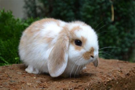 coniglietti nani alimentazione ariete nano fulvo pezzato la stalla dei conigli
