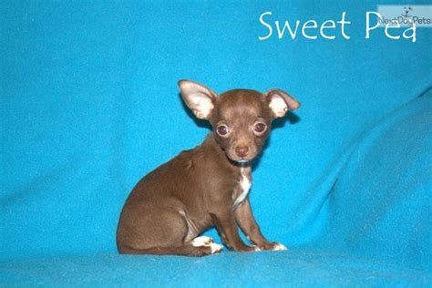 apple chihuahua puppies for sale near me chihuahua puppy for sale near jackson tennessee ab49da90 1e51