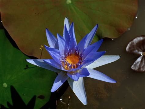 wallpaper blue lotus lotus wallpaper