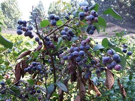 pianta di mirtillo in vaso coltivazione dei mirtilli nel frutteto come coltivare