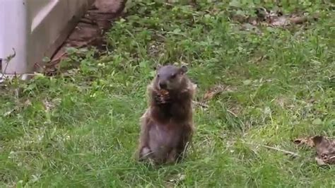 groundhog in the backyard gogo papa