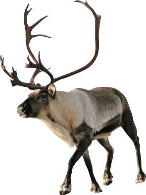 Reindeer transparent background