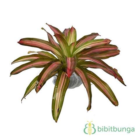 Promo Benih Selada Merah Lettuce Rosa Mr Fothergills Kemas tanaman bromelia pagoda bibitbunga