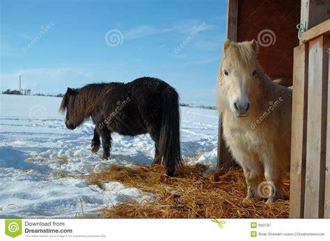 shetland pony stock photos images royalty free shetland shetland ponies royalty free stock photography image 650747