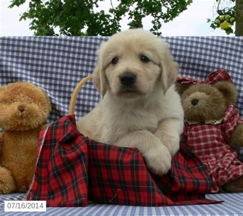 golden retriever puppies indiana for sale 84 best images about golden retrievers on a button and bestfriends