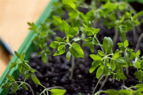 Wie Pflanze Ich Tomaten 4086 by Pflanzen Richtig Pikieren Und Abh 228 Rten Wiressengesund