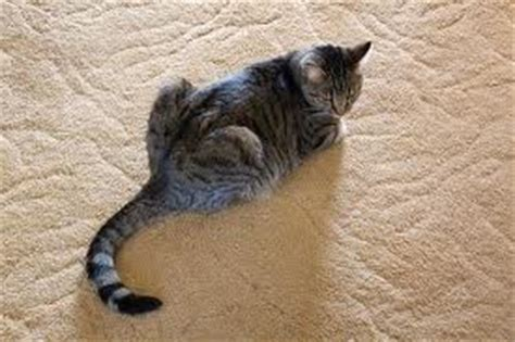 stop cat from on rug keep cat carpet cat urine problems eliminated