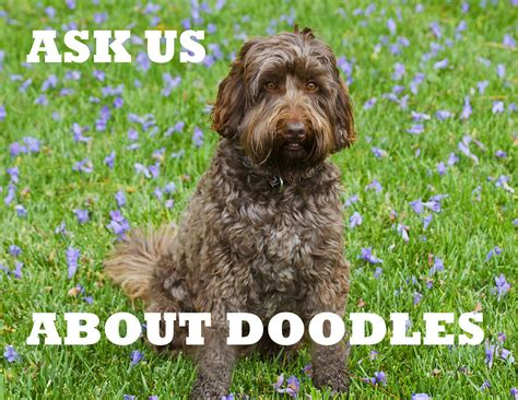 doodle rescue pin labradoodle rescue on
