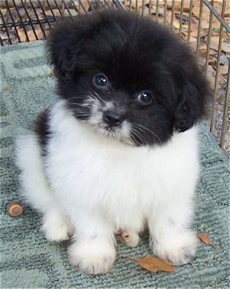 pomeranian poodle mix puppies pooranian breed pictures 2