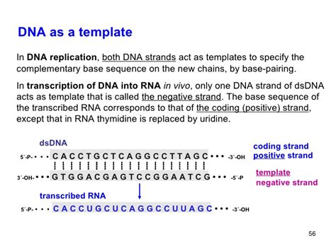 10 Polysacch Heteroglycosides Nucleic Acids What Acts As The Template In Dna Replication