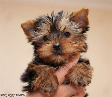 pictures of small puppies 25 best ideas about puppies on