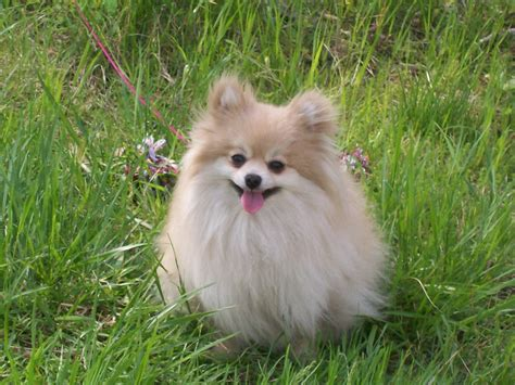 pomeranian kills baby pomeranian lovely baby wallpapers pomeranian wallpapers pictures free