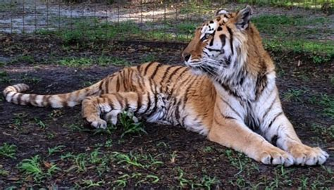 when to euthanize a when to euthanize a tiger big cat rescue