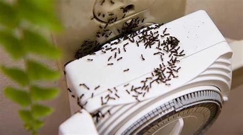 comment se d饕arrasser des fourmis dans une cuisine les 25 meilleures id 233 es concernant les fourmis sur