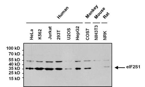 protein l hrp goat anti mouse igg h l hrp