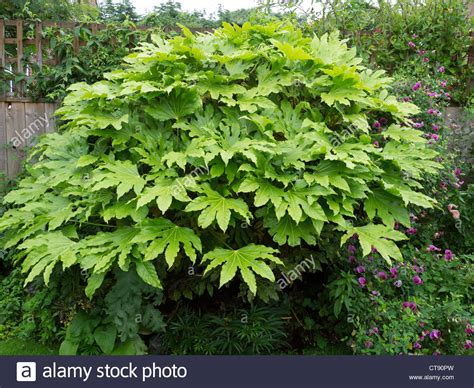 large japanese fatsia japonica fatsi or japanese aralia japonica grown large stock photo