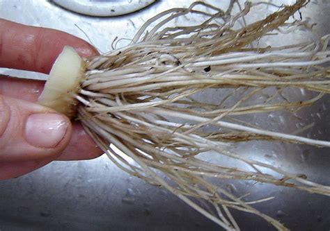 jpg 2 onion pedochmilnyxthis onion 2 onion planting tutorial at mybyrdhouse blogspot