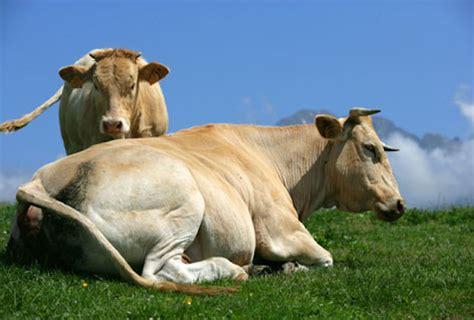 mucche volanti mucca udine 20