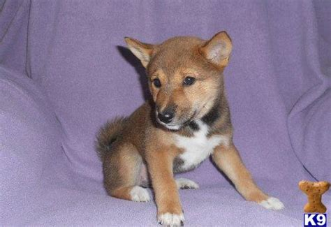 cheap shiba inu puppies for sale cheap inu puppies for sale uk breeds picture