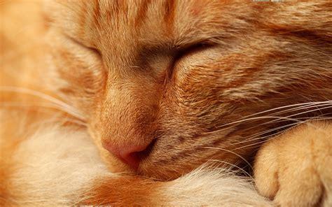 wallpaper cat orange orange cat wallpapers orange cat stock photos