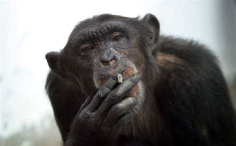 cool animals pictures  smoking monkeys