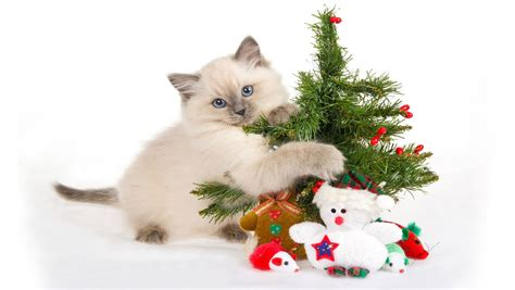 wallpaper cats christmas christmas cat free download cute christmas cat hd