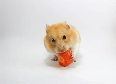 how many times should i feed my how many times a day should i feed my hamster wiring diagrams wiring diagram