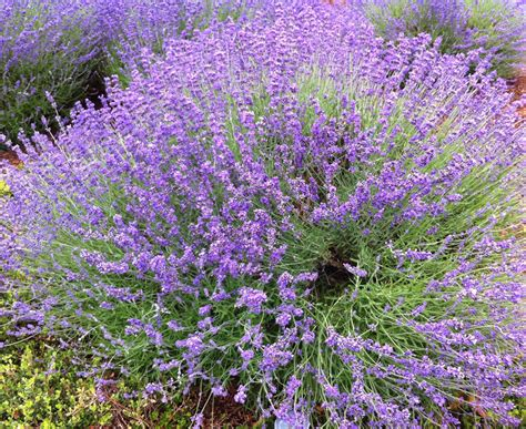 lavender grows well in georgia need to add lime to soil makes it alkaline ga is acidic
