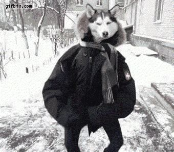 Animated Gif Meme Generator - dancing husky full screen best funny gifs and animated