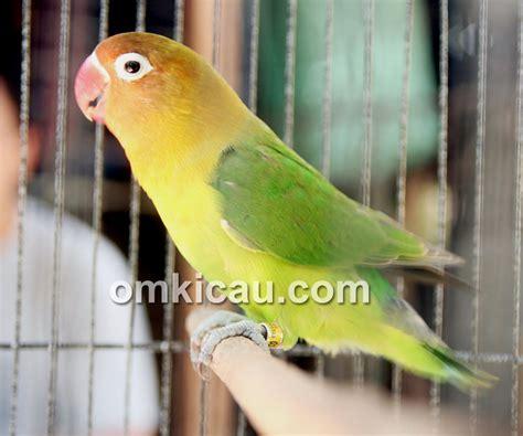 Wp Lovebird Bertelur Breding Obat Burung lagi lb ternakan tobil juara di pati klub burung