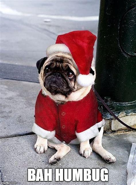 Bah Humbug Meme - 8 funny pug memes what every dog deserves