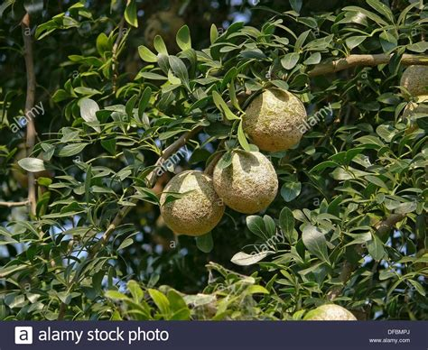 elephant fruit tree tree of feronia elephantum wood apple elephant apple