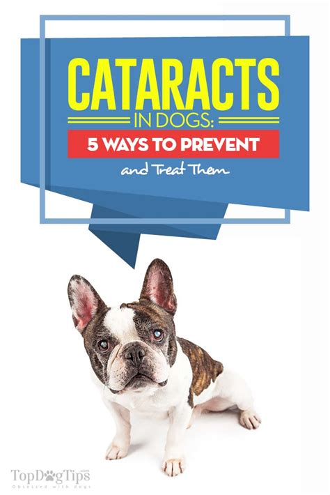 cataracts in dogs cataracts in dogs 5 ways to prevent and treat them top tips