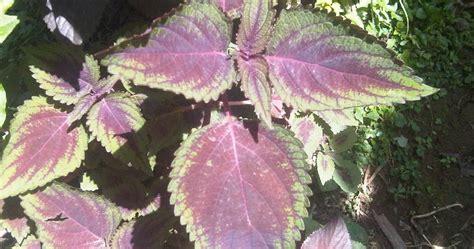 manfaat jawer kotok coleus hybridus obat tradisional