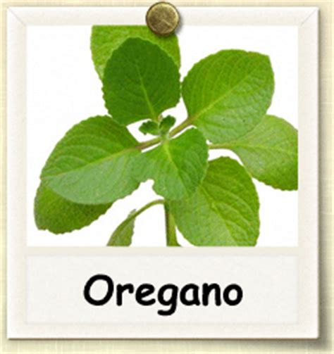Minyak Oregano oregano yang penuh manfaat bundadontworry s