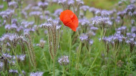 wallpaper poppy flower garden  flowers