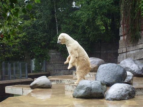Zoologischer Garten Arzt by Www Zoo Wuppertal Net Eisb 228 R Lars Wieder Gesund