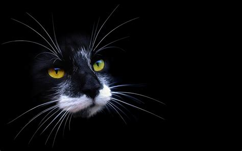 wallpaper cat night lovely cat hd wallpapers free pictures download hd